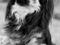 Hundporträtt, Fotograf Evelina Eklund Hassel i Jönköping och Karlstad