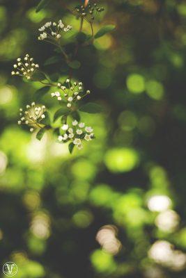 Blommor på buske, Fotograf Evelina Eklund Hassel i Jönköping och Karlstad