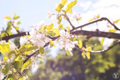 äppelträd i blom, Fotograf Evelina Eklund Hassel i Jönköping och Karlstad