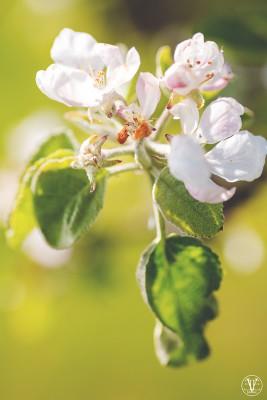 Äppleträd i blom, Fotograf Evelina Eklund Hassel i Jönköping och Karlstad