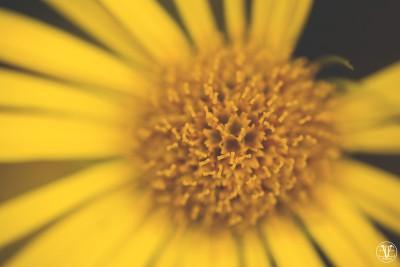 Macro på gul blomma, Fotograf Evelina Eklund Hassel i Jönköping och Karlstad